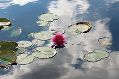 Purple water lily in a pond Stock Photo