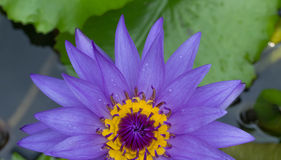 Purple water lily in the pond Royalty Free Stock Photos