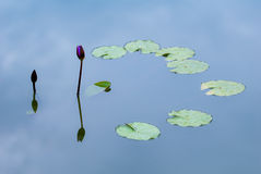 Purple Water Lily Reflection Royalty Free Stock Photos