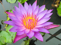 Purple water lily. Shot at water garden Stock Image