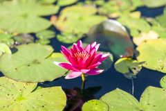 Purple water lily with strong flower crown and beautiful colour stock image