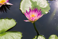 Purple water lily with sunlight Royalty Free Stock Photo