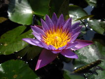 Purple water lily Stock Photo