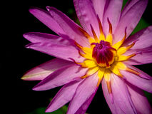 Purple Water Lily and Yellow pollen Royalty Free Stock Images