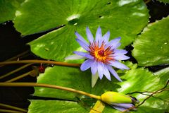 Purple Water Lotus Lily, bud and leaves. Nouchali is a day-blooming nonviviparous plant with submerged roots and stems. Part of the leaves are submerged, while royalty free stock photography