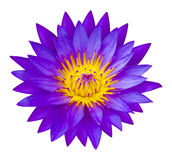 Purple waterlilly or Lotus Flower in Nature - lotus pond Stock Photography