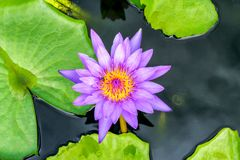 Purple waterlilly op water Stock Foto's