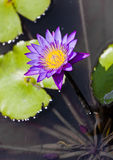 PURPLE WATERLILY Royalty Free Stock Photos