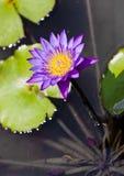 PURPLE WATERLILY. Purple tropical lotus waterlily bloom Royalty Free Stock Photos
