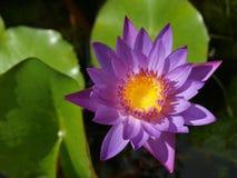 Purple waterlily Stock Photography