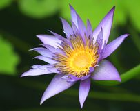 Purple Waterlily. With green lily pads at local lily pond stock images