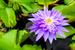 PURPLE WATERLILY Stock Photography