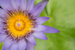 Purple waterlily. This beautiful Purple waterlily or lotus flower royalty free stock image
