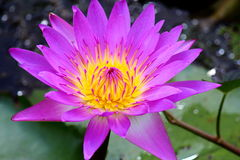 Purple waterlily Royalty Free Stock Images