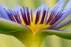 Purple waterlily. Close up of purple and yellow waterlily with soft green background Royalty Free Stock Image