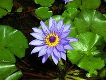 Purple Waterlily Flower Royalty Free Stock Image