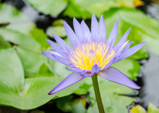 Purple waterlily flower blooming Royalty Free Stock Images
