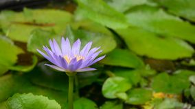 Purple waterlily flower. Blooming at the house garden, close up stock footage