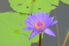 Purple Waterlily Flower Stock Photography