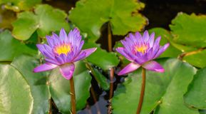 Purple waterlily flower Stock Image