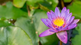 Purple waterlily flower Royalty Free Stock Images