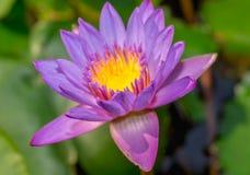 Purple waterlily flower Royalty Free Stock Photos