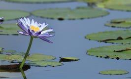 Purple waterlily. Giant Waterlily - Nymphaea gigantea - in an Australian billabong or wetland lagoon Royalty Free Stock Photo