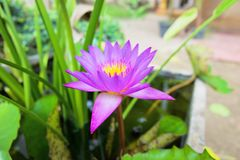 Purple waterlily or lotus is blooming on the pond. Purple waterlily or lotus is blooming on the pond royalty free stock image