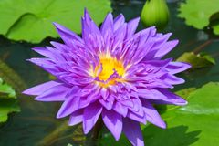 Purple waterlily named Chalong Kwanin the pond. Purple waterlily named King of Siam or Chalong Kwan in the pond Royalty Free Stock Photos
