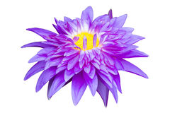 Purple waterlily named King of Siam or Chalong Kwan isolated on white background, clipping path included Royalty Free Stock Photo