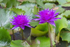 Purple waterlily named King of Siam or Chalong Kwan Stock Image