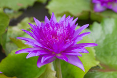 Purple waterlily named King of Siam or Chalong Kwan Stock Photography