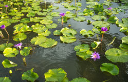 Purple waterlily Stock Image