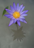 Purple waterlily reflection Stock Photos