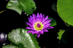 A Purple Waterlily in The Sunshine stock image