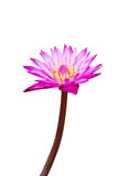 Purple waterlily with yellow center isolated on background, clipping path included Stock Photography
