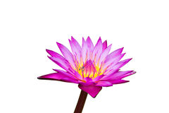 Purple waterlily with yellow center isolated on background, clipping path included Stock Images