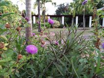 Purple flowering weed plants in the garden royalty free stock photo