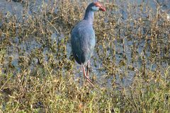purple Western swamphen in the lake. In eveningn Royalty Free Stock Photo