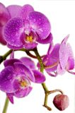 Purple wet orchids Royalty Free Stock Image