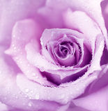 Purple Wet Rose Background Royalty Free Stock Photo