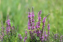 Purple wetland wild  flowers Stock Photography