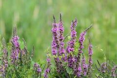 Purple wetland wild flowers stock photography
