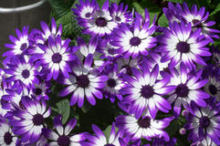 Purple and White African Daisies. Royalty Free Stock Images