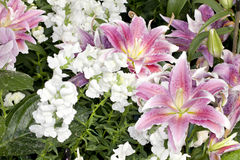 Purple and white Asiatic Lilies Stock Image