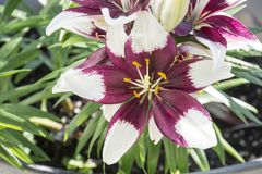 Purple and white Asiatic lilly. Blooms in close up royalty free stock image