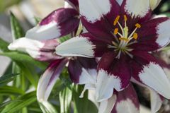Purple and white Asiatic lilly. Blooms in close up royalty free stock photography