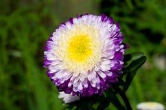 Purple-white aster on green grass Stock Photo