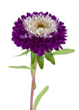 Purple-white Aster Isolated Royalty Free Stock Images