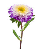 Purple-white aster isolated Stock Photo